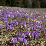 Monte Grappa, fioritura dei crochi